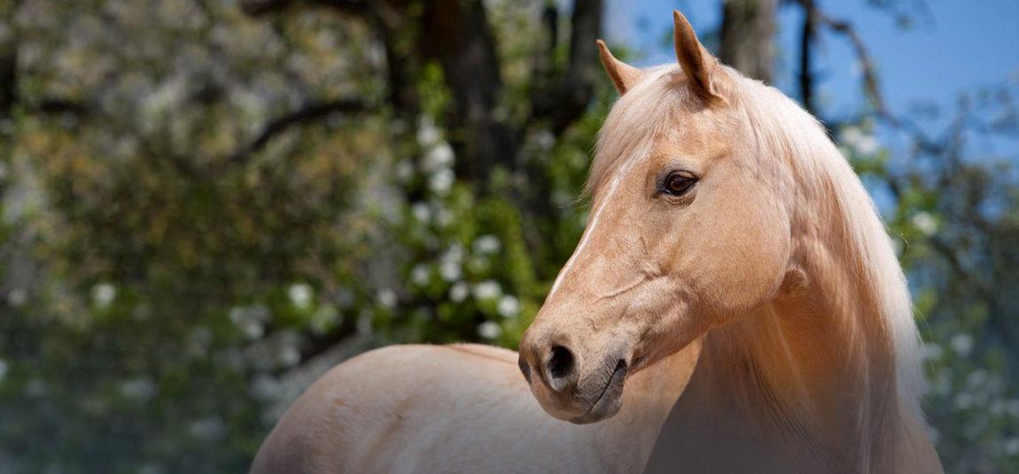 Quarter Horse - APASSIONATA – Im Bann des Spiegels – Europatour 2015/2016