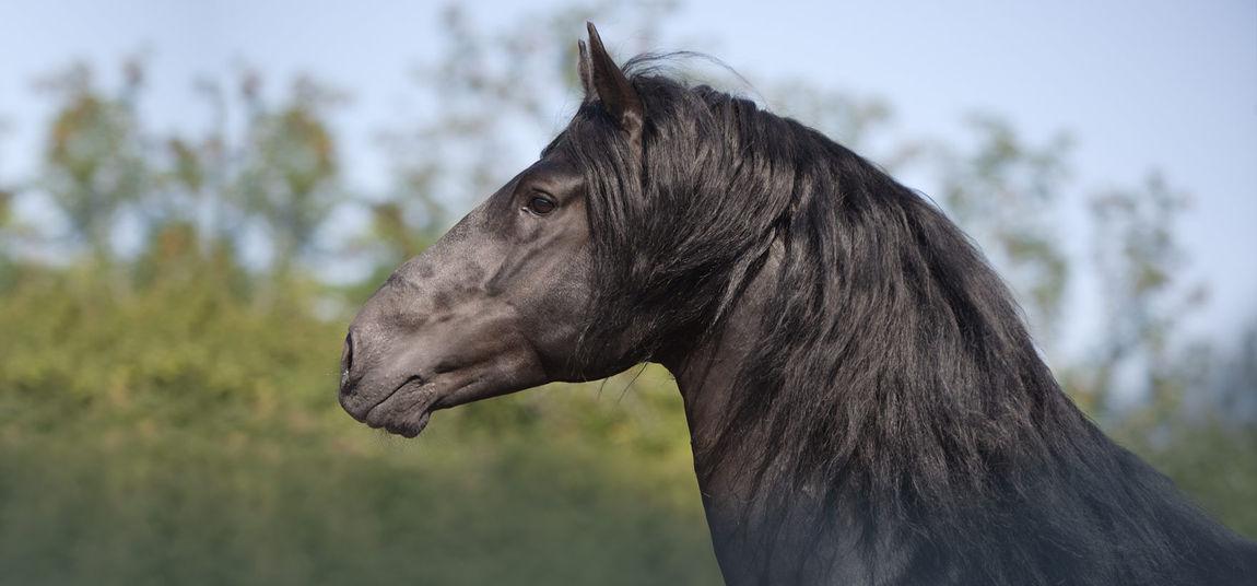 Menorquiner – APASSIONATA – Im Bann des Spiegels – Pferderassen - Europatour 2015/2016